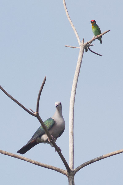 Green Imperial Pigeon and Crimson-fronted Barbet