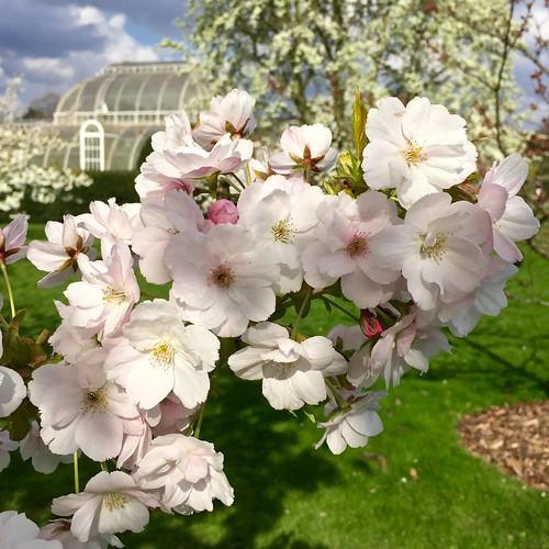 Kew Gardens cherry blossom 2017 | by Fran Pickering