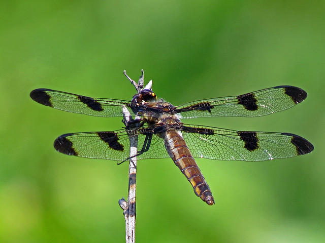 Dragonfly, Twelve-spotted Skimmer, female