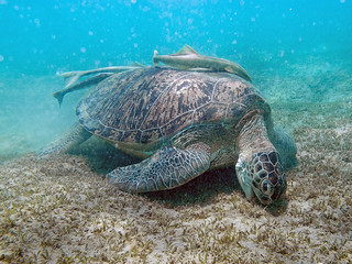 Sea Turtle | by Alaric Webster