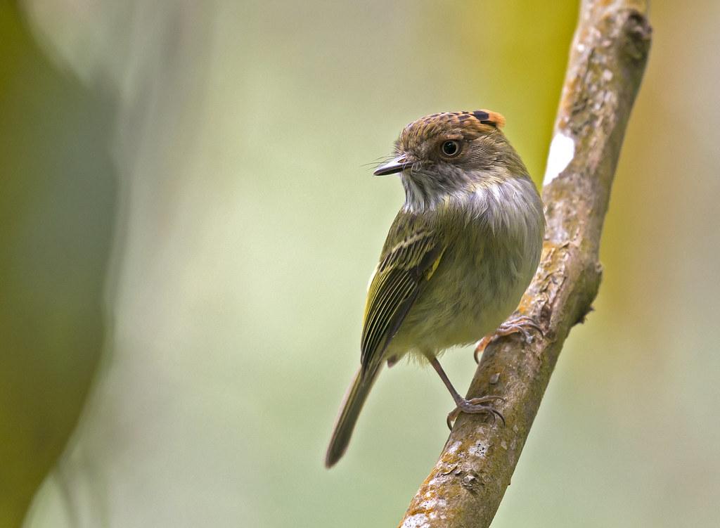 Imagen de una de las aves del Quindio: Tiranuelo pileado (Lophotriccus pileatus)