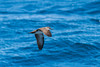Galapagos Shearwater IMG_0922-1 by Larry Hubble