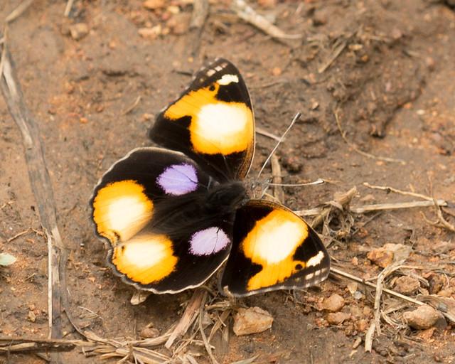 Yellow Pansy, (Explored) Junonia hierta, Turk Mine, Zimbabwe