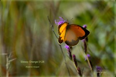 Sleepy Orange Texas butterfly photography by Ron Birrell,  DSC_0128