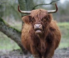 Schotse hooglander (Schots-Gaelisch- B� Gh�idhealach; Schots- kyloe),_