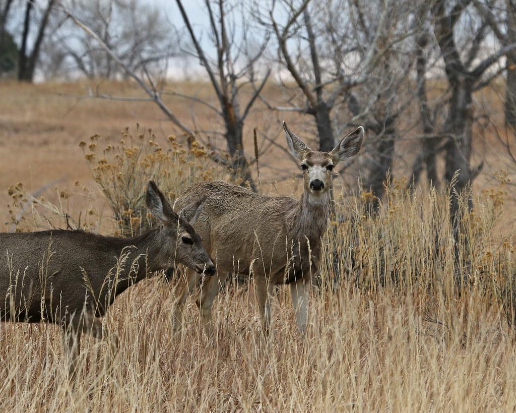 Mule Deer 0107