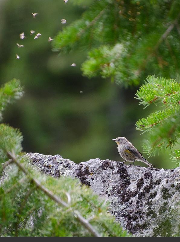 Bird in Yellowstone Park