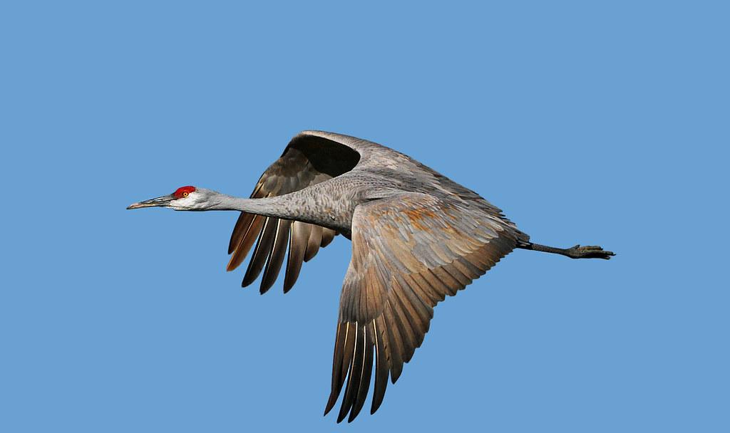 Sandhill Crane National Wildlife Federation >> Sandhill Crane In Flight Bosque Del Apache National Wildli Flickr