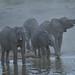 Elephants in the Mist  (Explore 16 January 2014) by Duncan Blackburn