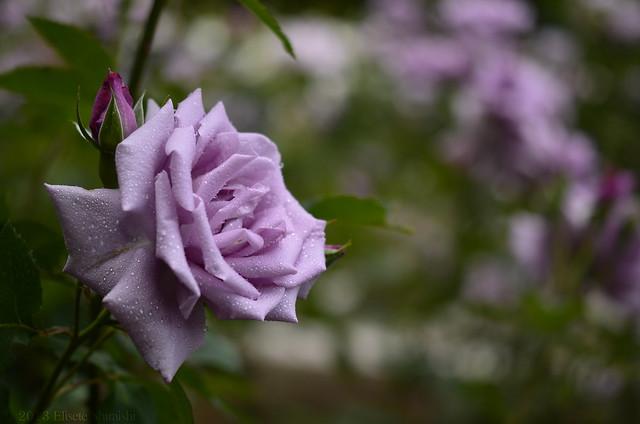 Rosas lilás