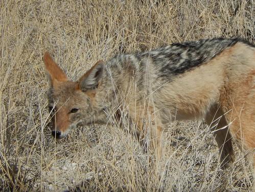 Etosha NP - blackbacked jackal