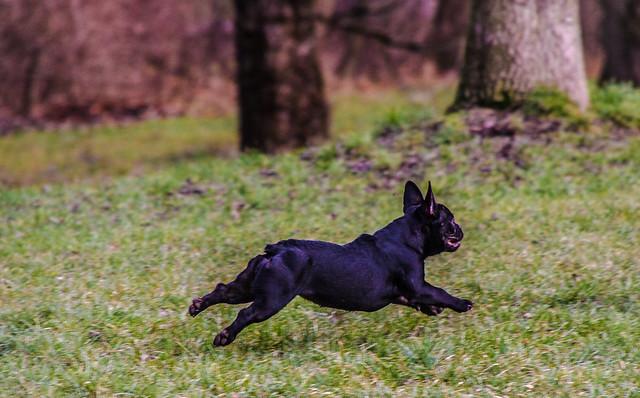 flying french Bulldog