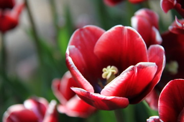 Tulip | by Infomastern