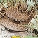 Western Rattlesnake at Joder Ranch.