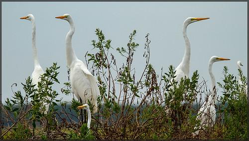bird nature inn kayak wildlife nj inlet egret corsons deuville