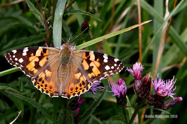 Painted Lady in Cornwall