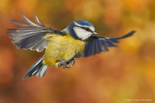 Blue Tit in flight | by Jerry Nicholls