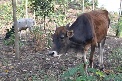 Cows in Meru