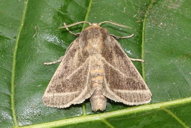 5925 moth Porto Joffre, Pantanal, Brazil 04.10.2015