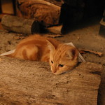 Orange cat on a log