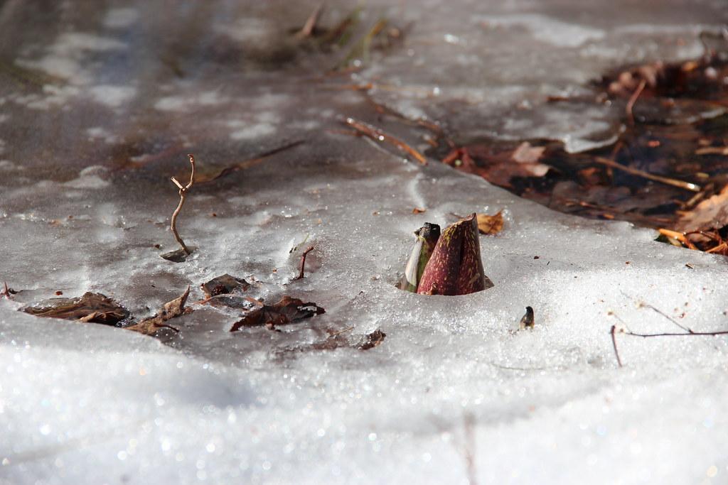 IMG_3725-eastern skunk cabbage at pine hole bog