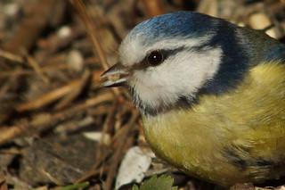 European Blue Tit  , Cyanistes caeruleus   by manum.net - Photos from Manum Gård