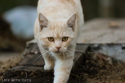 4T4A4784 Cream tabby Japanese cat 薄茶トラ猫
