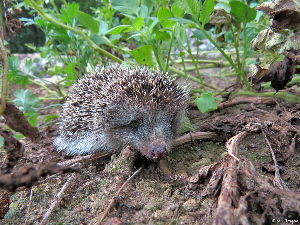 Hugh's Hedgehog Different Types of Hedgehogs