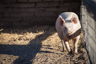 Trotting Pig | by staticantics