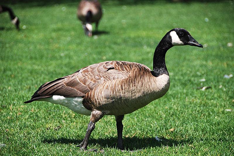 Wildlife in British Columbia, Canada: Canada Goose