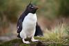 Southern Rockhopper Penguin (Eudyptes chrysocome) by JeDi58