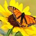Monarch on Plains Sunflower Lacreek NWR
