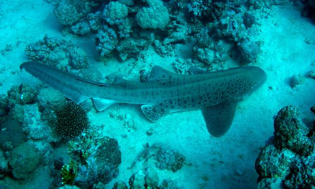 Leopard Shark, (Explored) Stegostoma fasciatum, Tiran Island, Red Sea