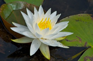 White Water Lily (Nymphaea odorata) | by Distant Hill Gardens