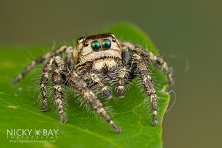 Jumping Spider (Hyllus sp.) - DSC_8401 | by nickybay