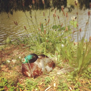 Duck of the day | by Texarchivist