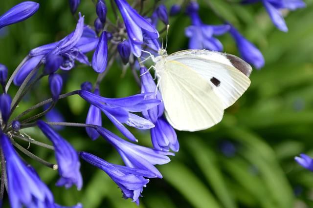 Large White Butterfly Pieris Brassicae