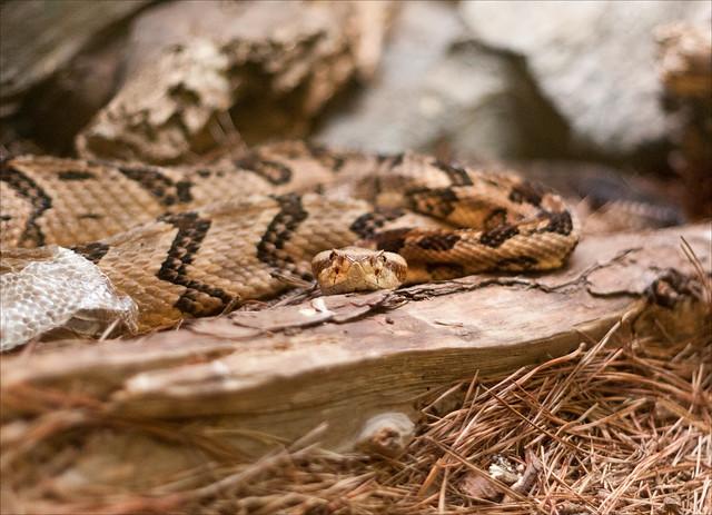 Western Diamond-backed Rattlesnake