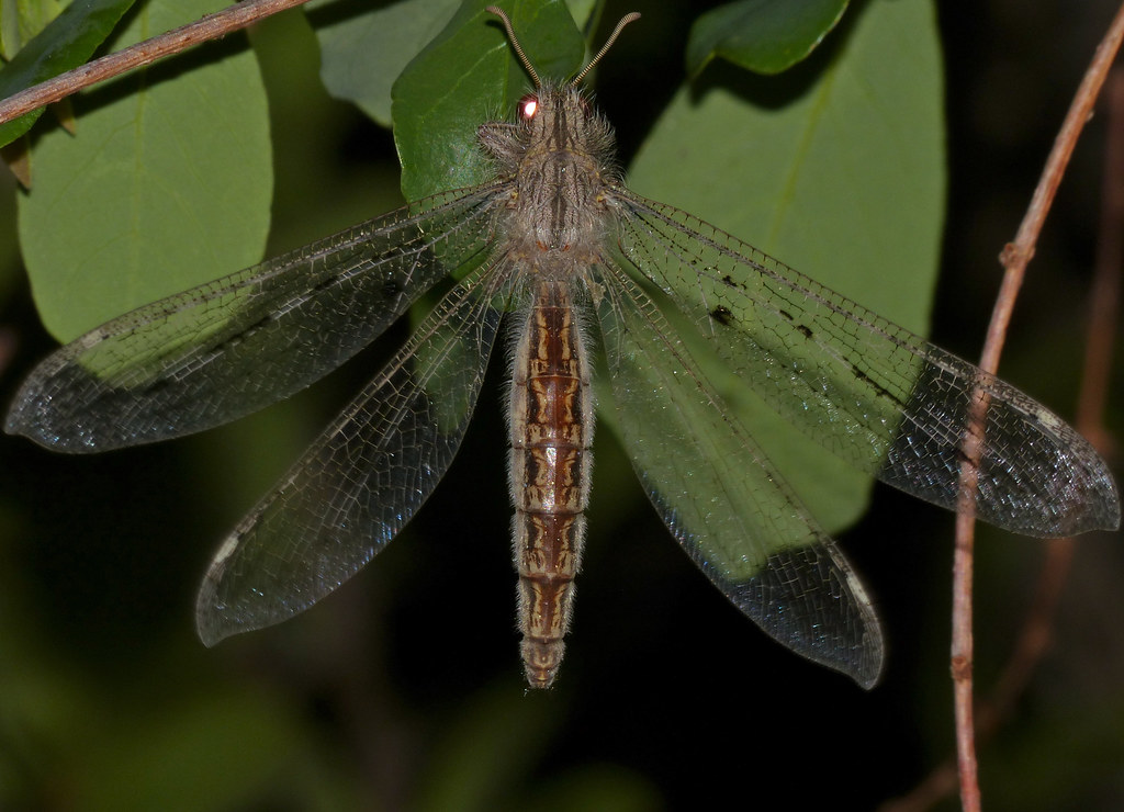 Bark Antlion (Jaya sp.)