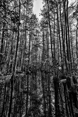 hdr floridastatepark cypressswamp floridalandscape highlandscountyflorida ericseibert