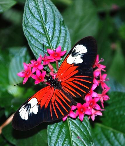 nature insect butterflies mariposa schmetterling krohnconservatory farfalle 2011 longwing mygearandme mygearandmepremium mygearandmebronze mygearandmesilver mygearandmegold mygearandmeplatinum mygearandmediamond butterfliesofbrazil infinitexposure jennypansing
