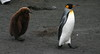 King Penguin Aptenodytes patagonicus by Neil Cheshire