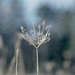 Wild Carrot by Alexis The Lark