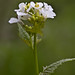 Flickr photo 'Alliaria petiolata MJB409-D116' by: Sarah Gregg Petriccione.