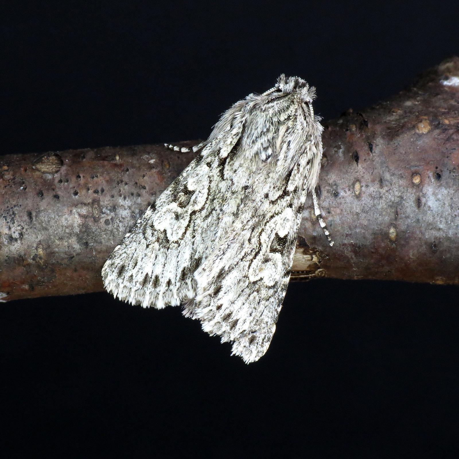 2243 Early Grey - Xylocampa areola
