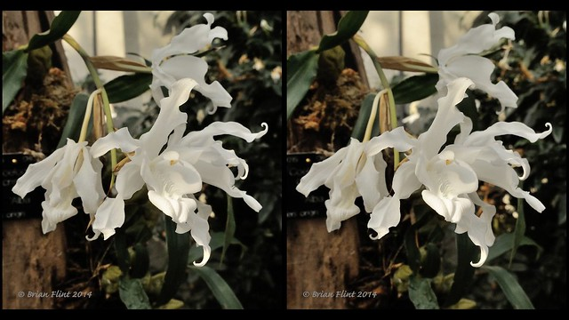 Coelogyne Cristata Orchid - 3d parallel view