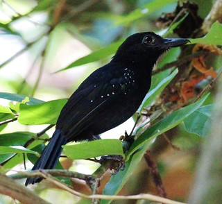 Black-hooded Antshrike | by tombenson76