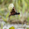 Wattled Jacana - just look at those toes! by tickspics 
