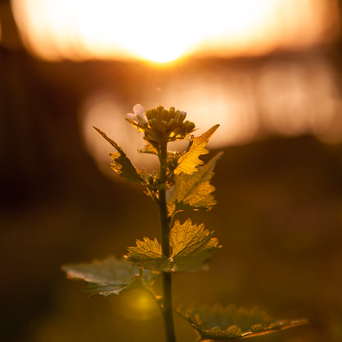 sunset plant square leaf weed dof bokeh connecticut newengland ct ridgefield garlicmustard bsquare fairfieldcounty lakemamanasco nikkor2470mmf28 nikon2470mmf28