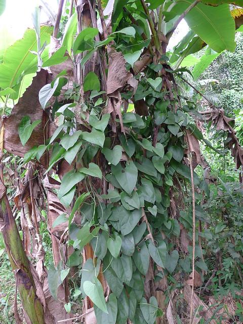 Aristolochia odoratissima L. (ARISTOLOCHIACEAE)